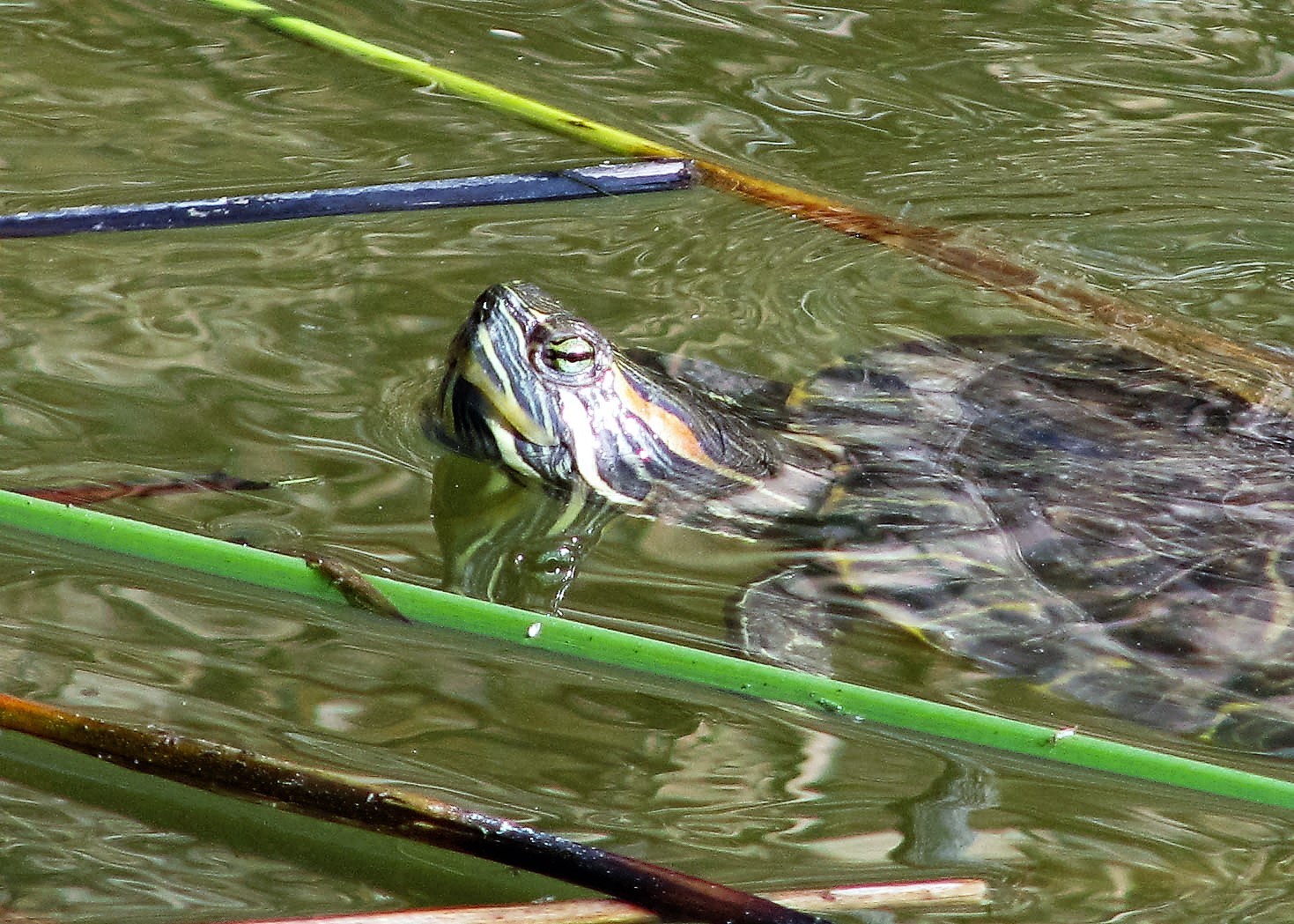 Turtles, Gilbert AZ