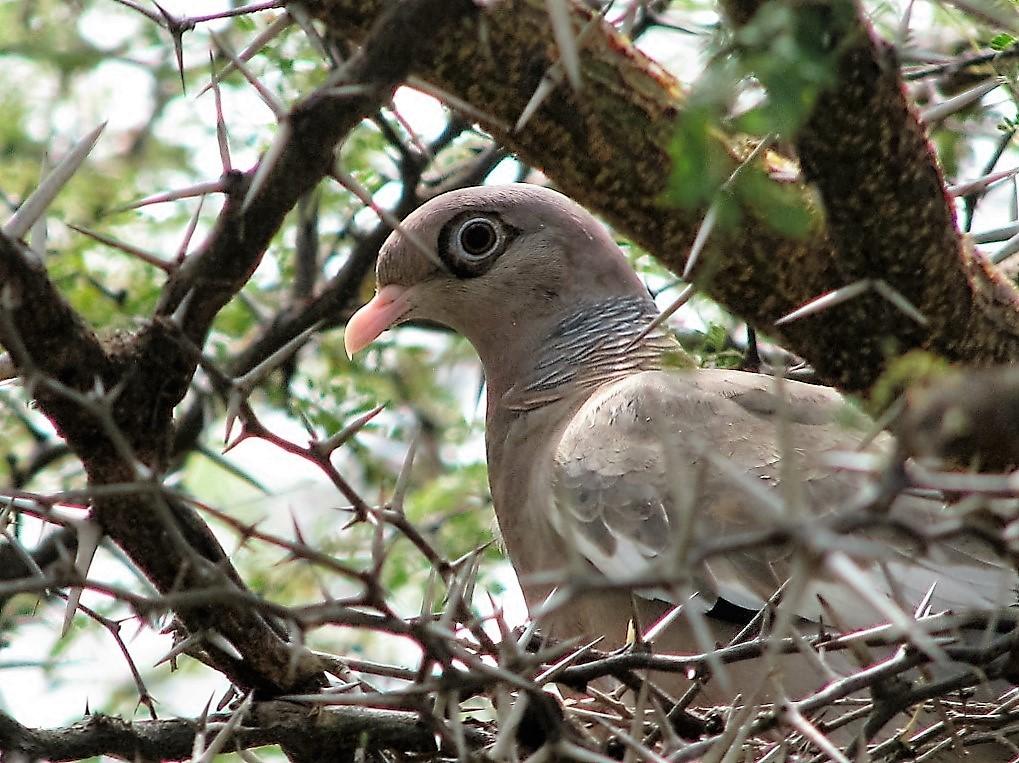 Bare-eyed Pigeon, Aruba