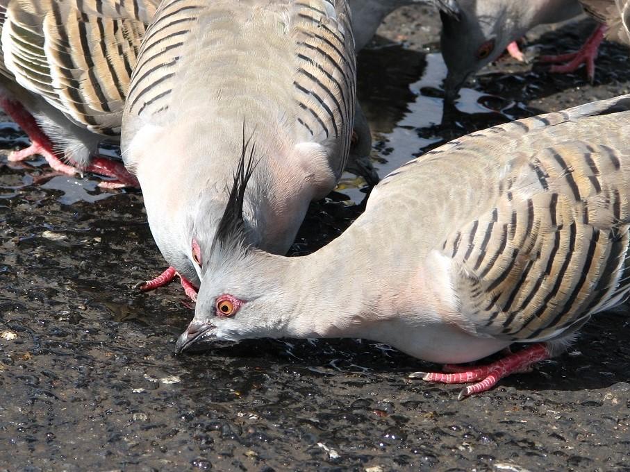 Pigeons, Kata Tjuta AUS