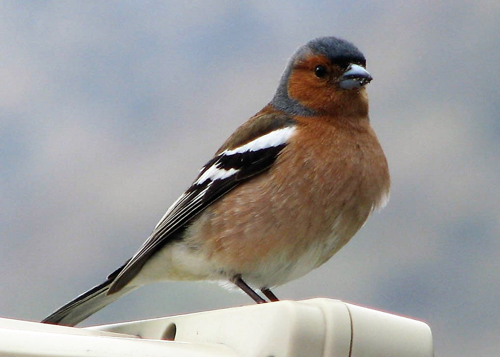 Common Chaffinch, Queenstown, NZ