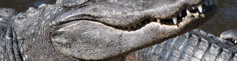 Close-up of alligator head and teeth