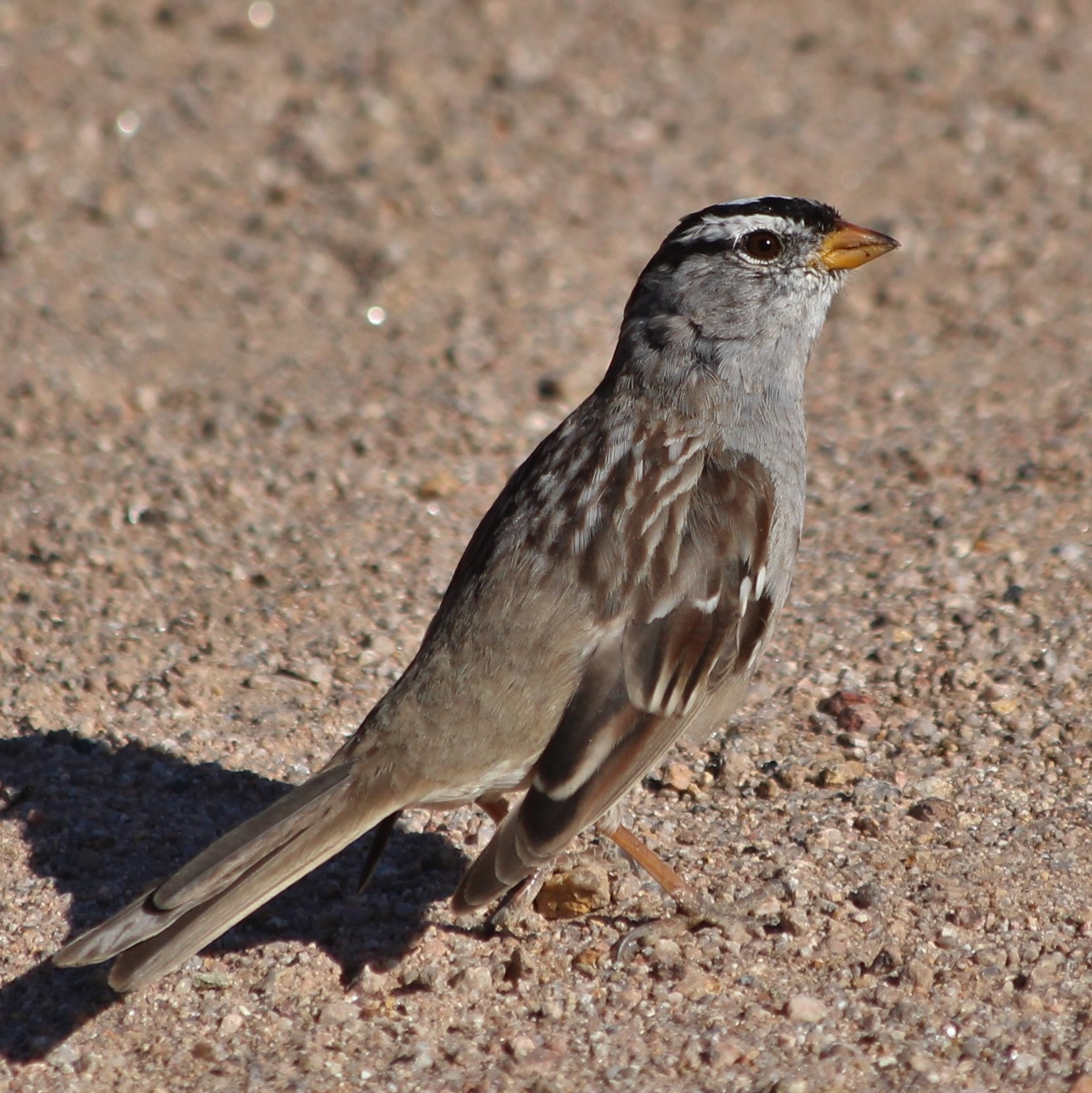 White-crowned Sparrow, Gilbert AZ