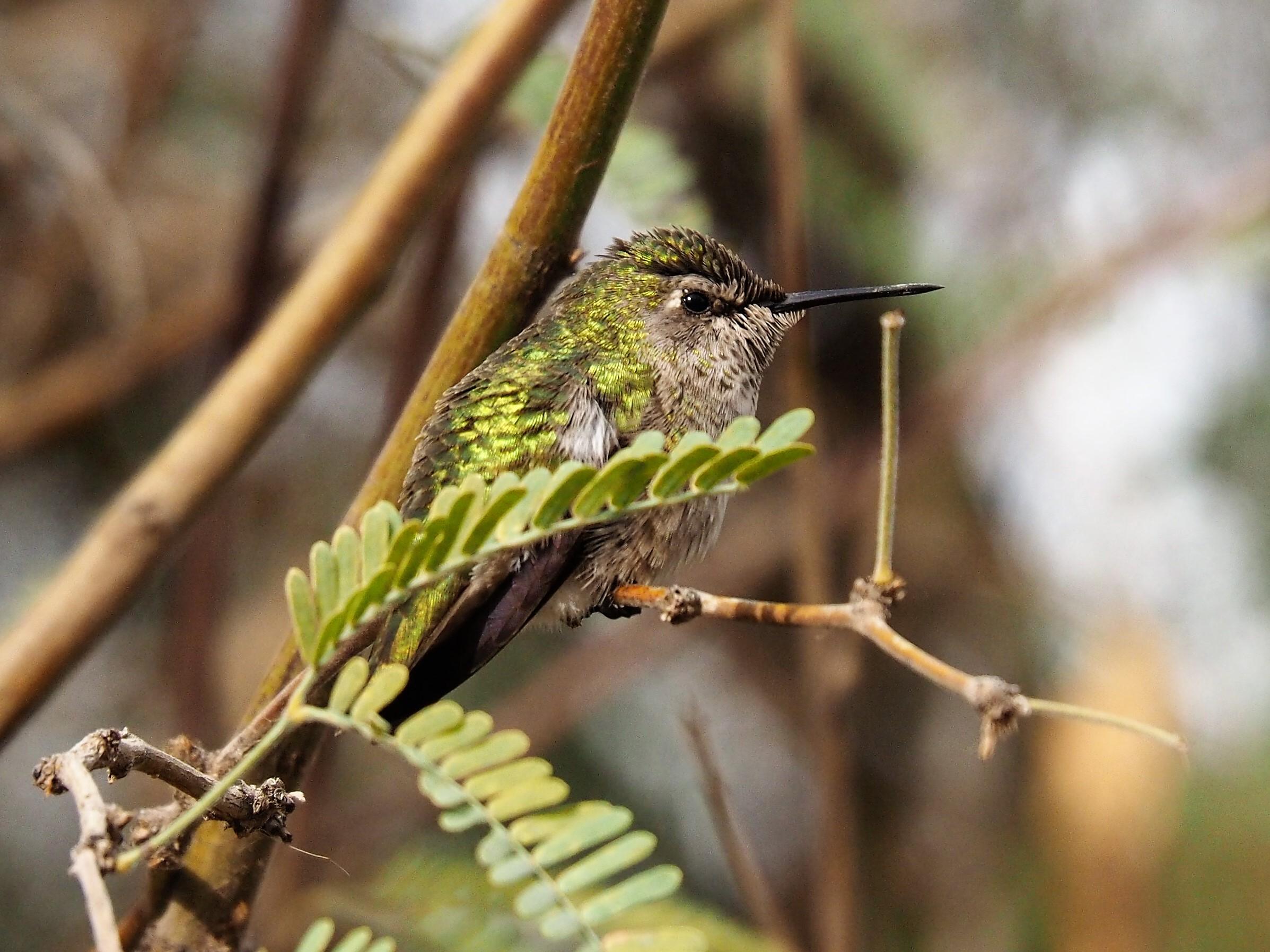 Hummingbird, Gilbert AZ