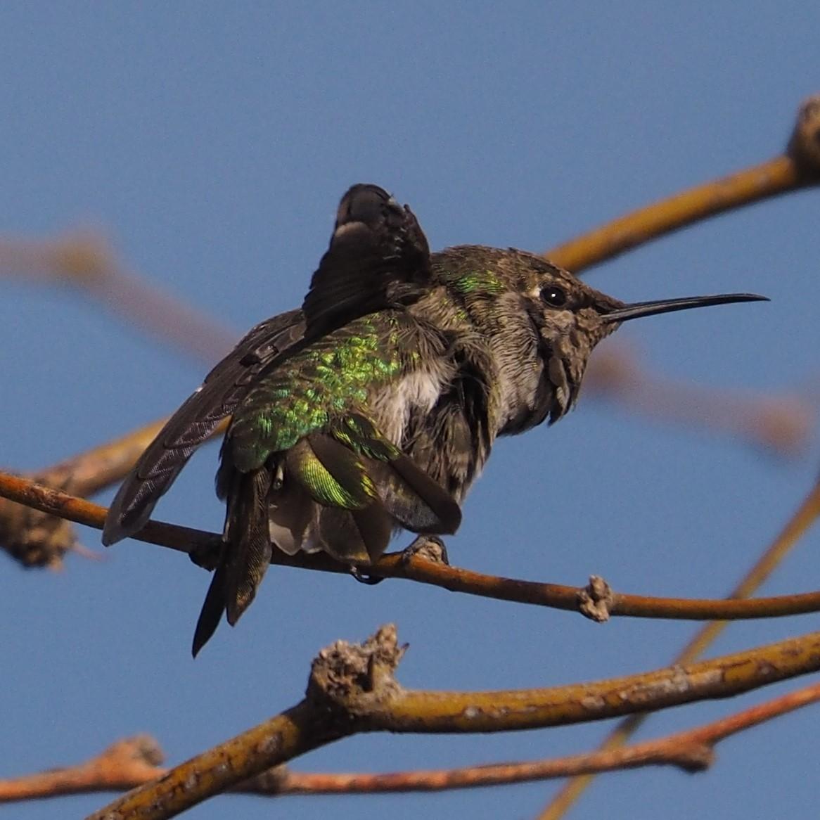Anna's Hummingbird, Gilbert AZ