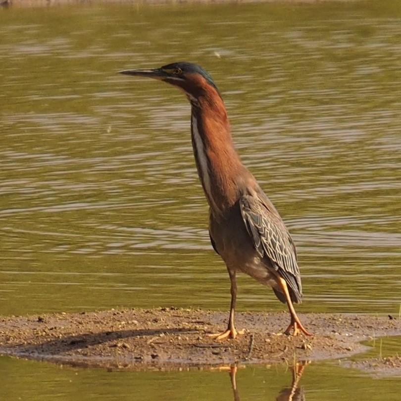 Green Heron, Gilbert AZ