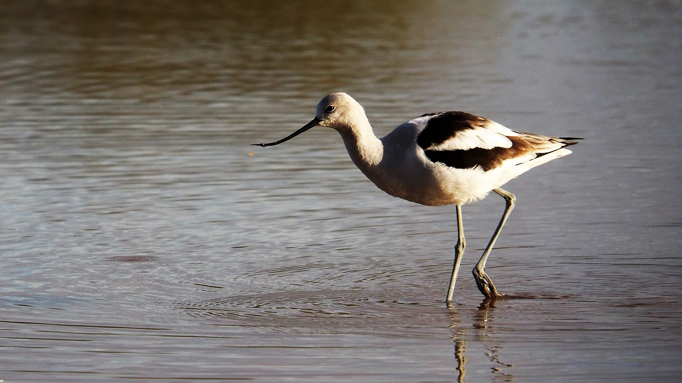 Avocet, Gilbert Water Ranch