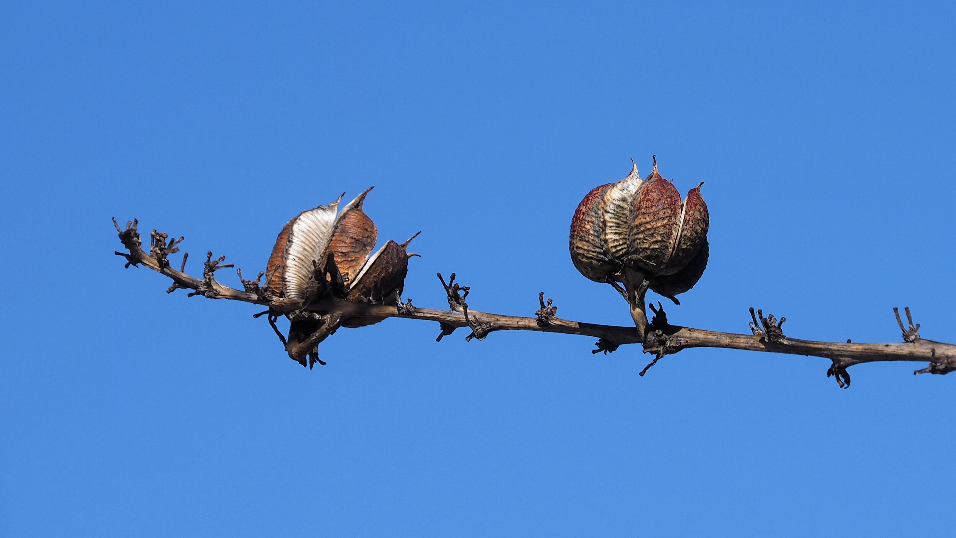Two dried seed pods against deep-blue sky.
