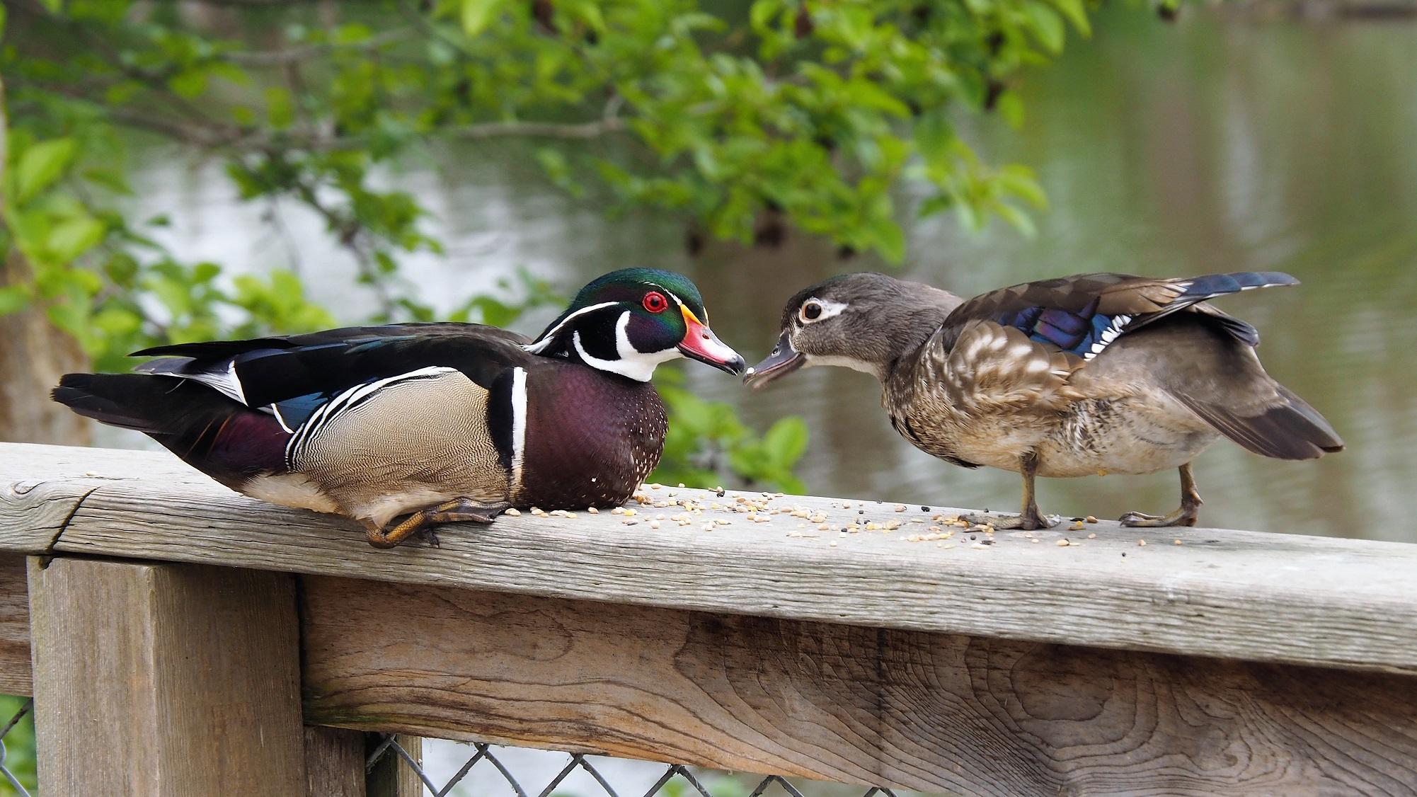 Wood Ducks, Ladner BC