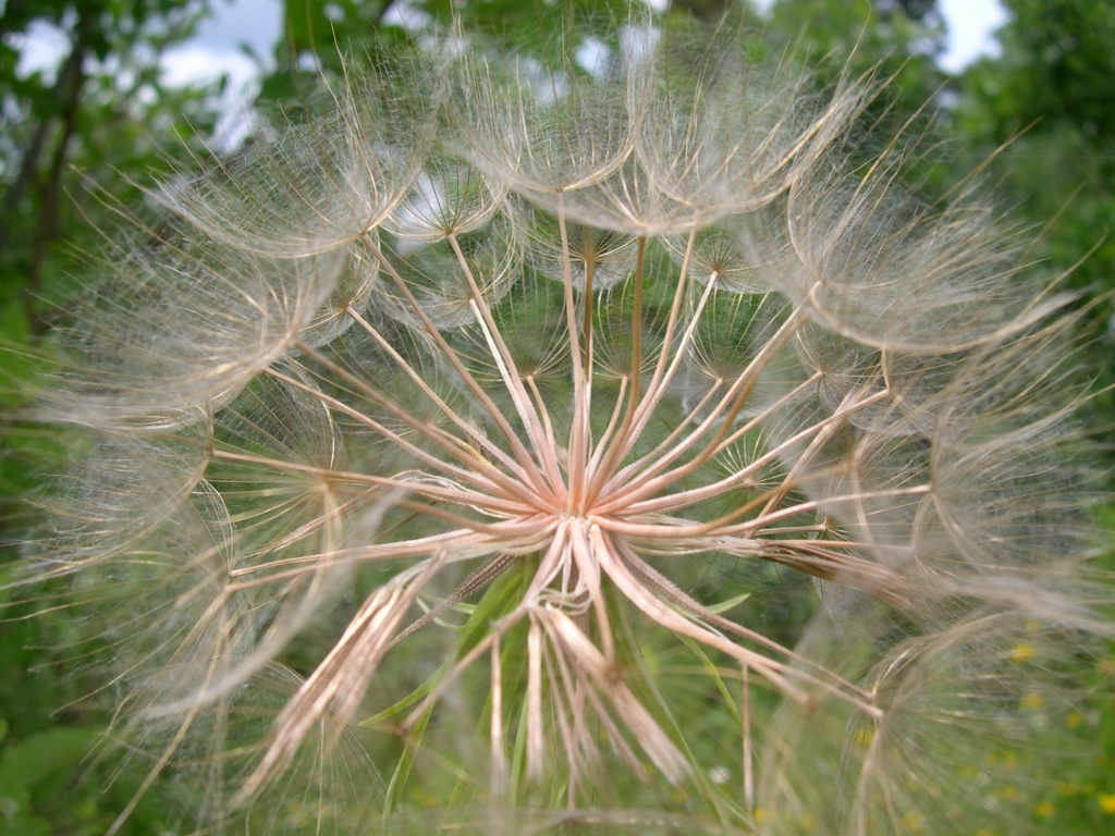 Close-up of dandelion seed head, almost in cross-section.
