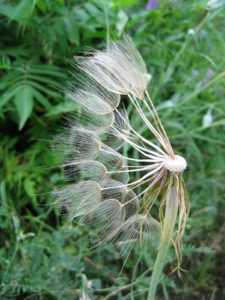 Close-up of windblown dandelion seed head