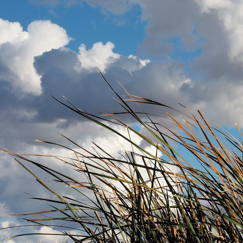Grass fronds against cumulus clouds