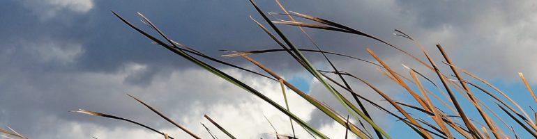 Grass fronds against cumulus clouds