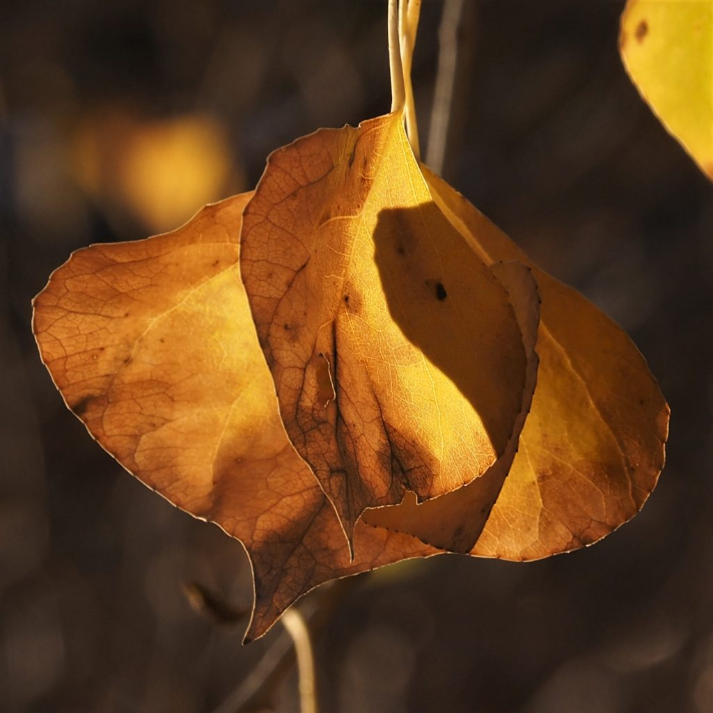 Two brown cottonwood leaves, backlit by sun