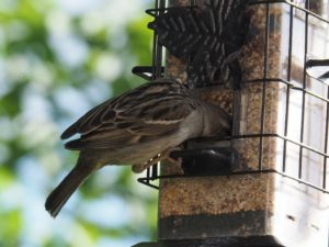 House sparrow with head buried in feeder full of seed.
