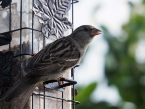 House sparrow perched at feeder