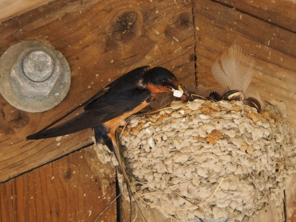 Barm swallow adult removing fecal sac to protect mud-daubed nest from discovery.