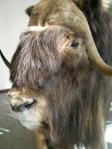 Close-up of stuffed muskox in Iqaluit Airport.
