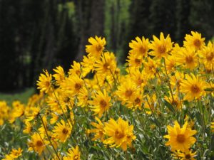 Yellow daisies on hillside, backed by black spruce.