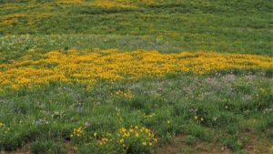 Field of yellow daisies amid green grass.