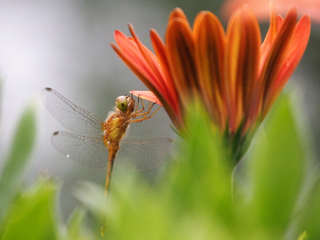 Side view of dragonfly hanging onto flower petal.