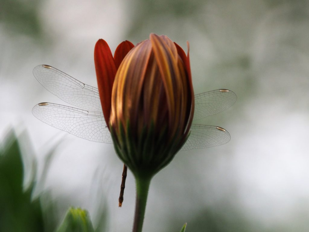 Wings of dragonfly sticking out behind a daisy.