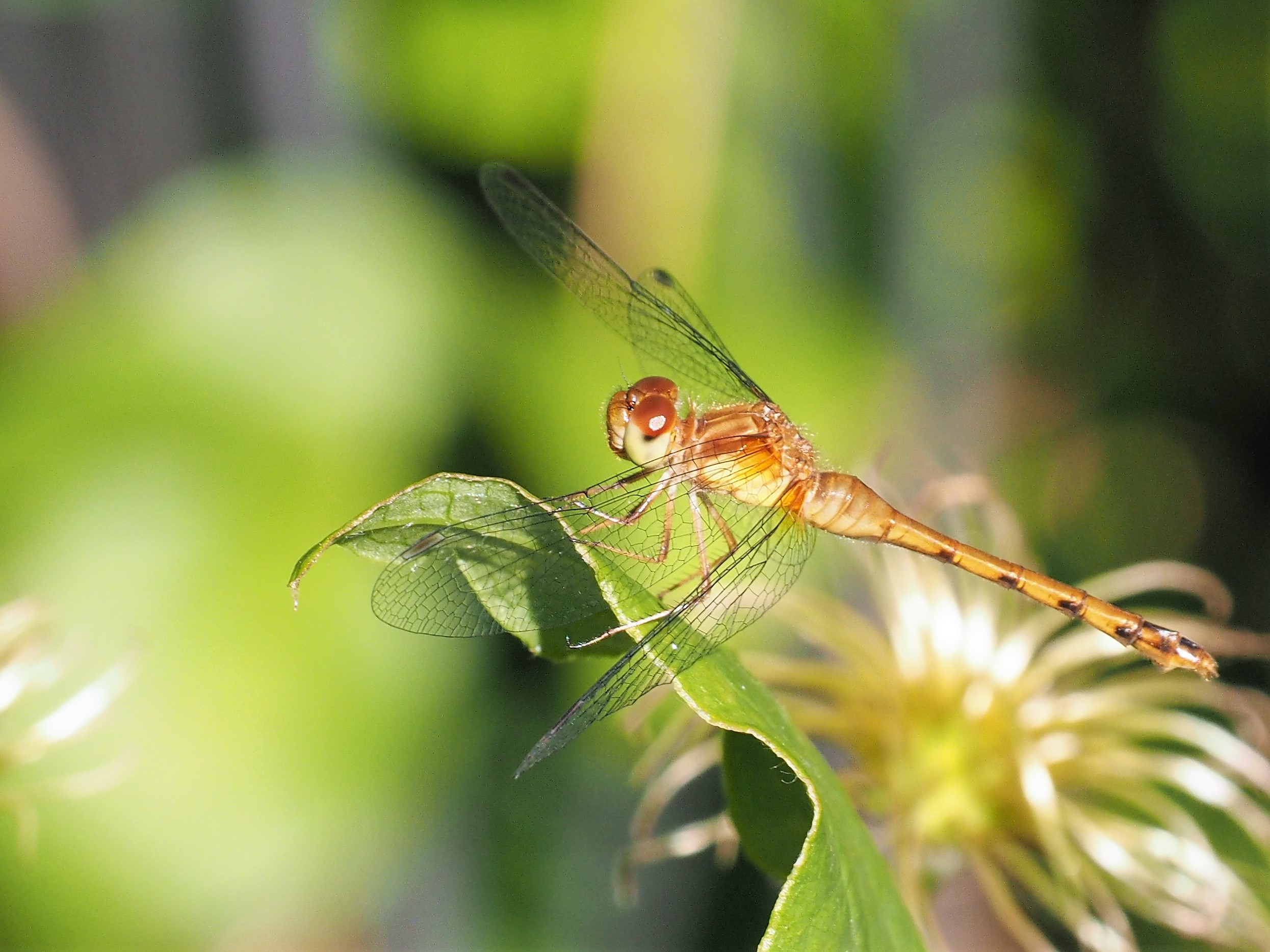 Side view of dragonfly resting on a leaf.