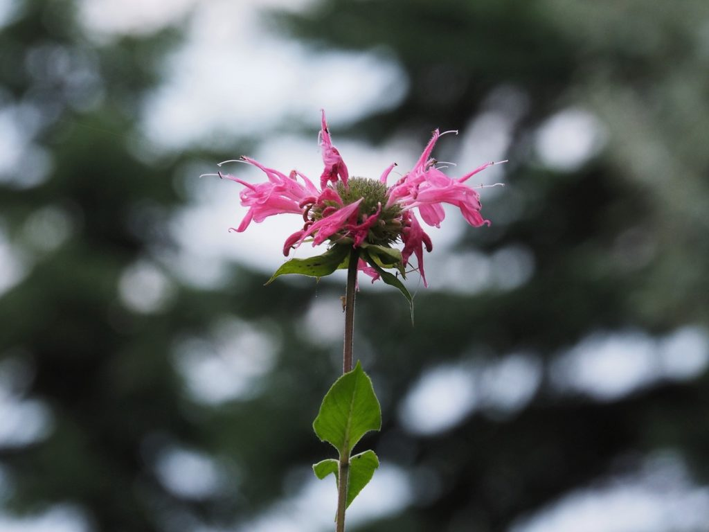 Single stem of pink-petalled flower in foreground; black spruce looming in background.