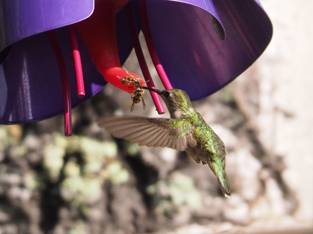 Hummingbird at feeder, with wasps.