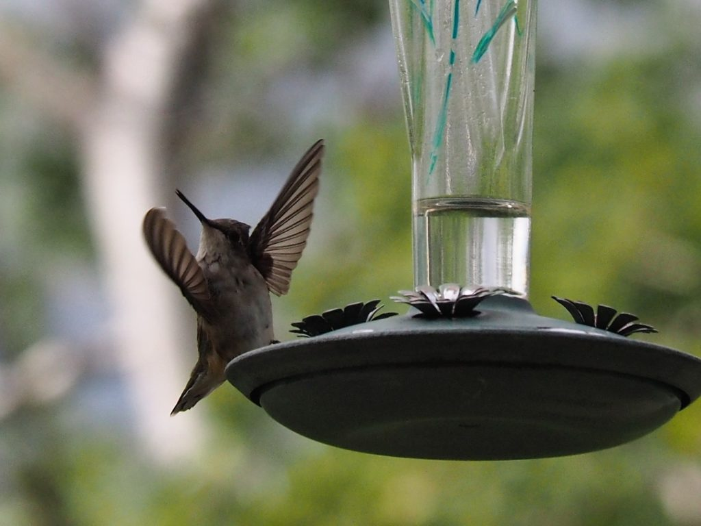 Front view of hummingbird at feeder, seeming to direct an orchestra.