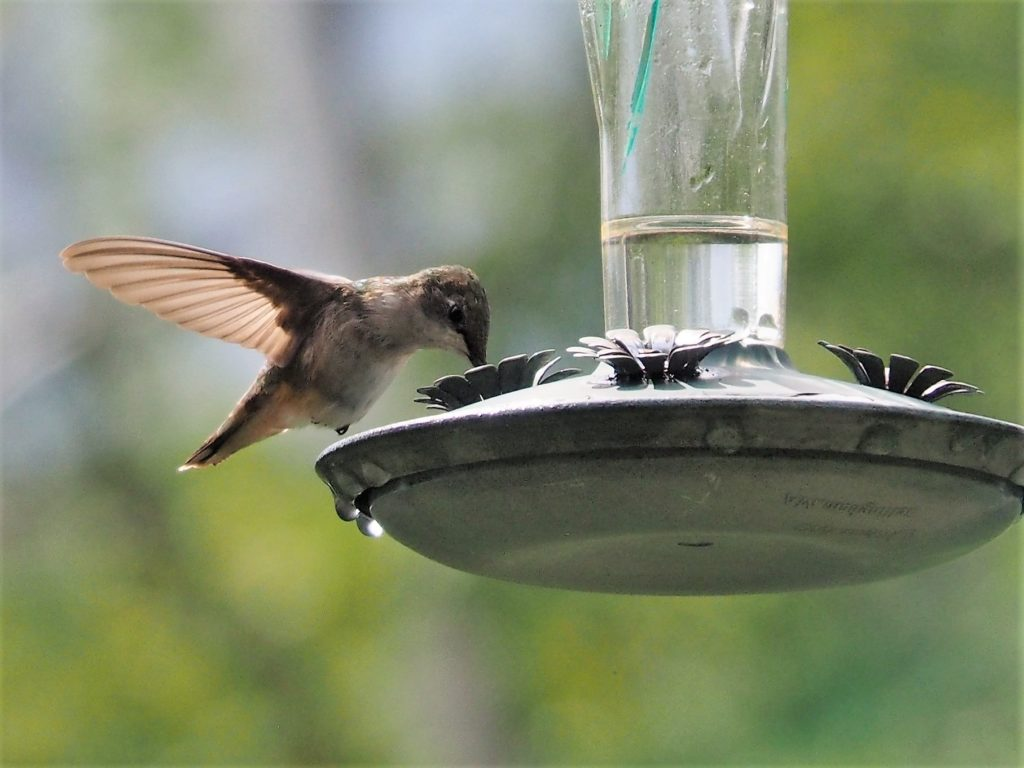 Front and side view of hummingbord at feeder.