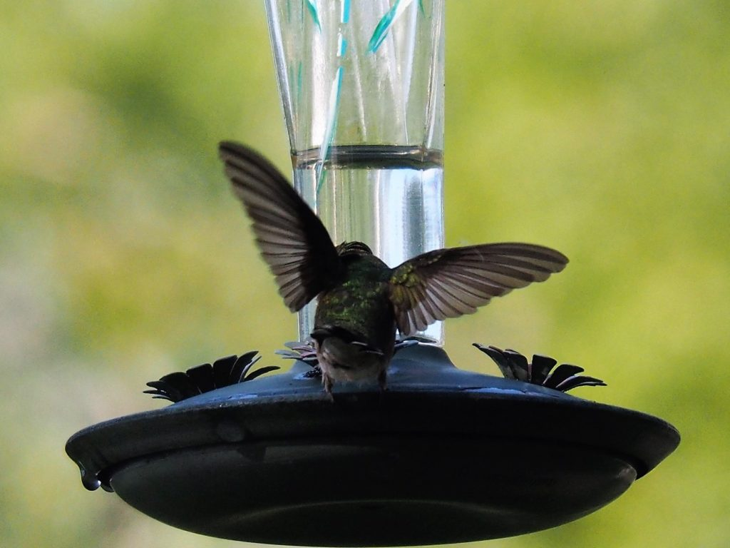 Back view of humminbgird at feeder, seeming to struggle with its balance.