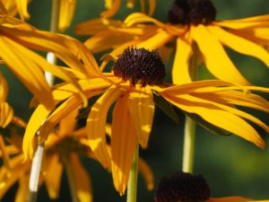 Cluster of Black-eyed Susans, all yellow and green.