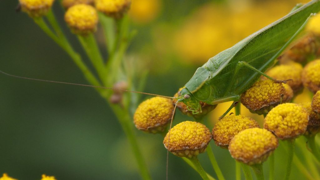 Close-up of all-green grasshopper on yellow wildflowers.