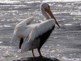 Mid-Week Movie #4: Pelicans in the Mist