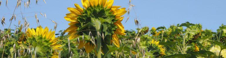 Rear view of sunlfower in end-of-summer field.