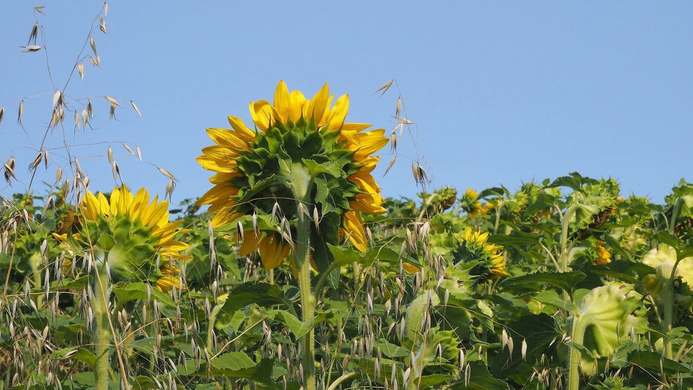 Sunflowers, Ottawa and Petersfield