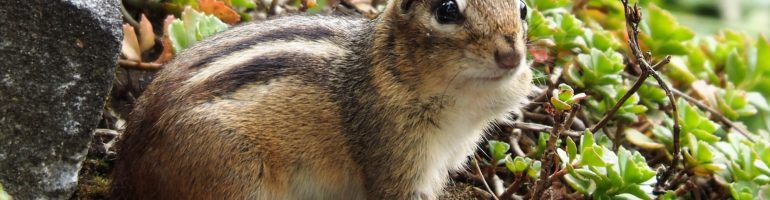 Chipmunk sitting alertly at opening to burrow.