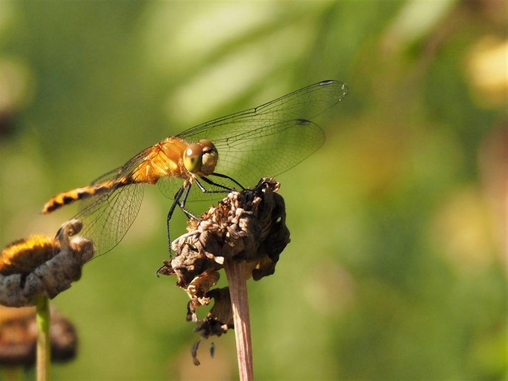 Close-up of dragonfly on weed seedhead.