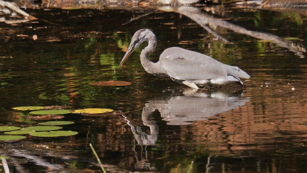 Great blue heron in hunting pose, standing in autumn-coloured pond.