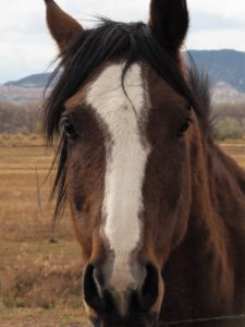 Close-up of brown horse with white blaze.