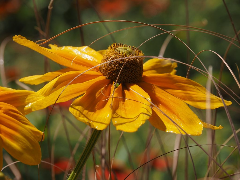 Close-up of coneflower, glistening from watering and nestled in dried grasses.