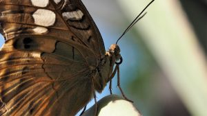 Close-up, side view of brown butterfly on leaf