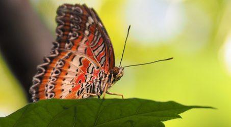 Greenhouse Butterflies