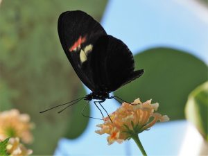 Close-up, side view of black butterfly on flower head