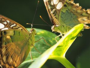 Two green and brown butterflies facing each other