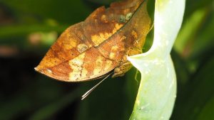 Close-up, underneath view of butterfly mimicking a dried-up leaf