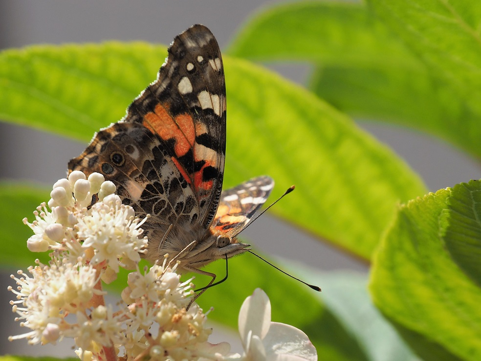Close-up of orange and black butterfly, showing antennae and proboscis