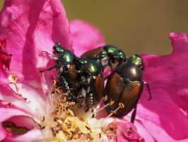 Close-up of Japanese Beetles, mating on a rose petal.