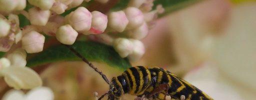 Locust Borer Beetle, Ottawa ON
