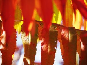 Layers of sumac leaves in autumn colours